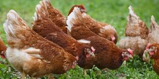chicken-litter-energy