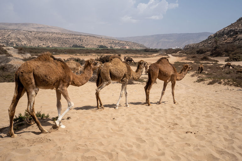 herd-of-camels-walking-desert