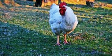 chicken-on-grass